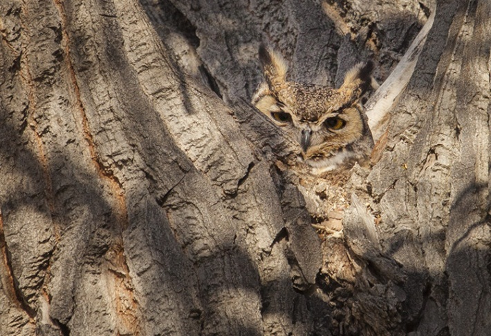 Great Horned Owl at Carson River Park by Sandi