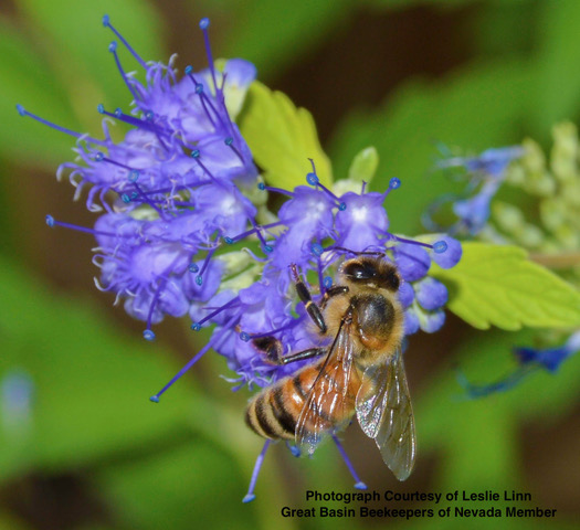 Photograph courtesy of Leslie Linn, Great Basin Beekeepers of Nevada member. Honey bee (Apis mellifera) drinks nectar from the Purple Tansy (Phacelia tanacetifolia).