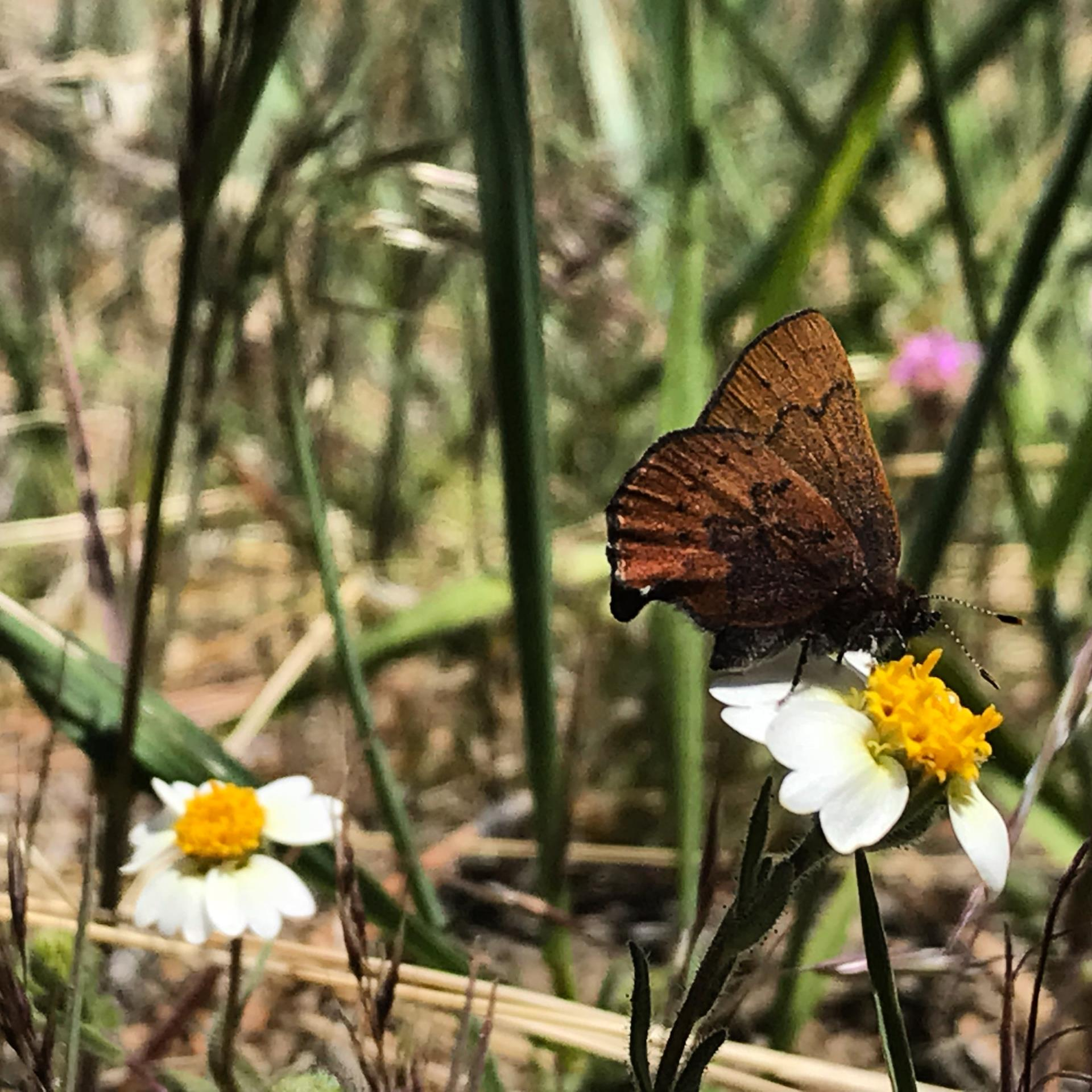 Butterfly foraging on a native Aster flower.