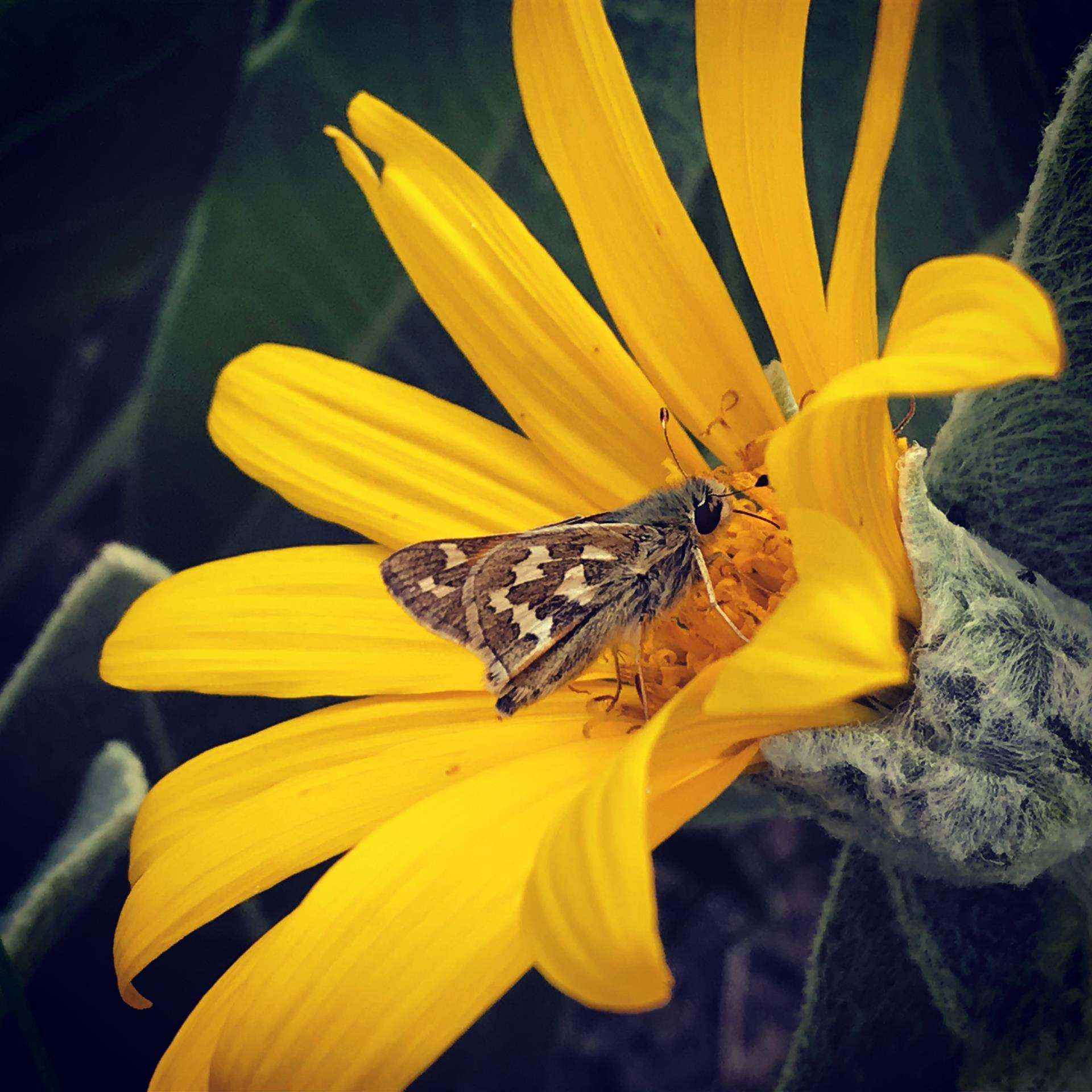 Grass Skipper butterfly foraging on a native Mule's Ears, Wyethia mollis flower.