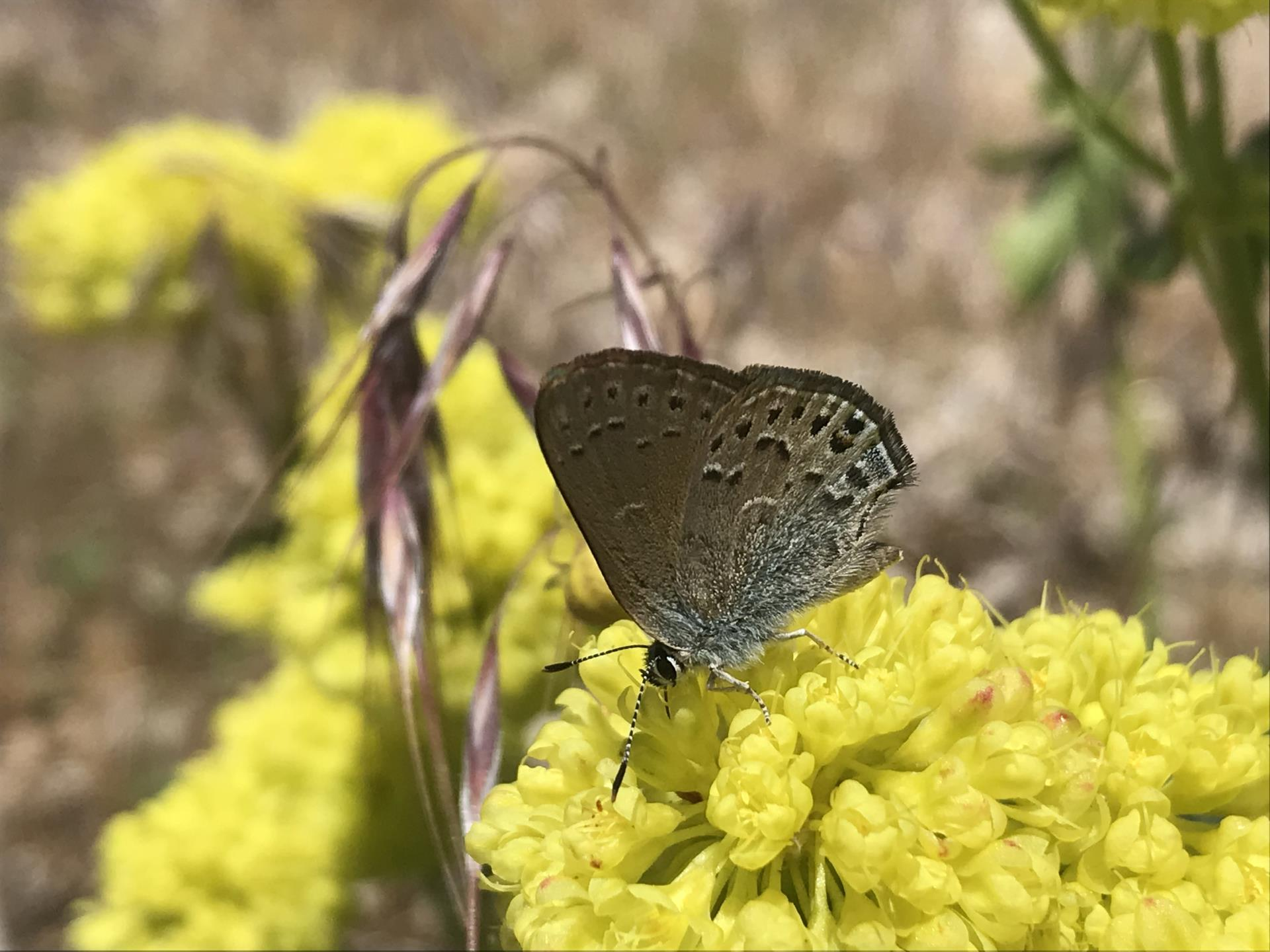 Butterfly foraging on the native plant Sulphur Buckwheat, Eriogonum umbellatum.