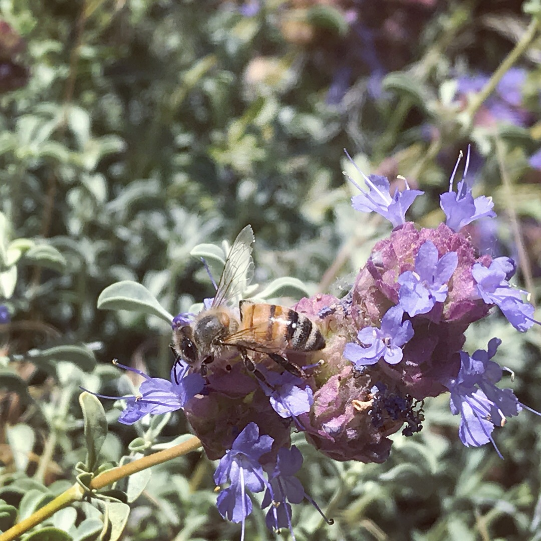 Honey Bee (Apis mellifera) feeding on the native plant Desert Sage, Salvia dorrii.